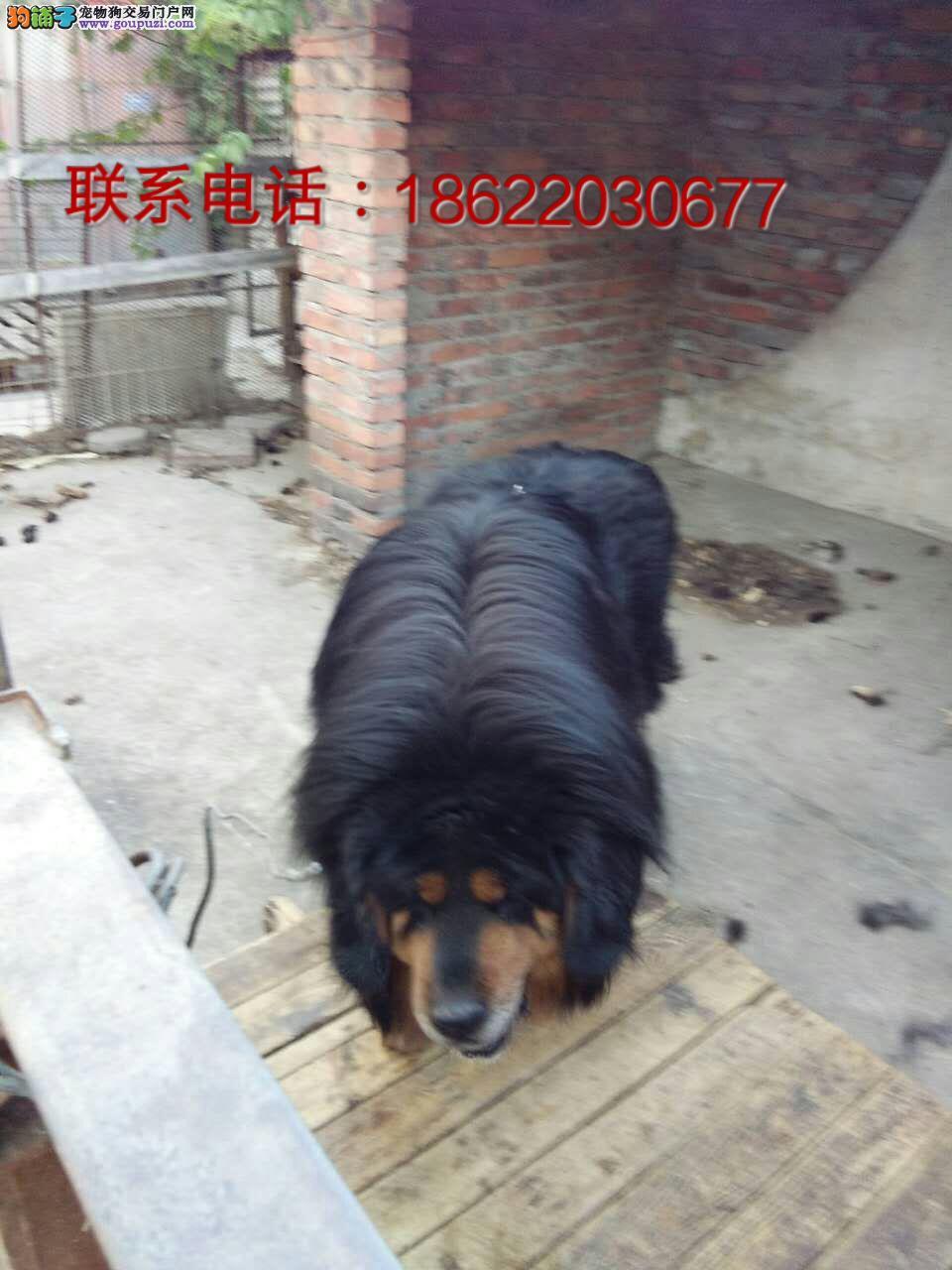自家公司藏獒出售qq:86828609