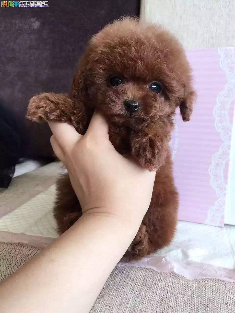 出售纯种贵宾犬,出售泰迪幼犬,实体繁殖犬舍