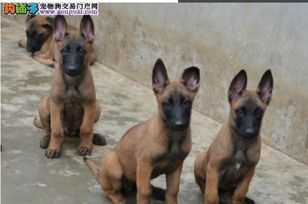 金山区狗场买马犬&图片价格多少钱