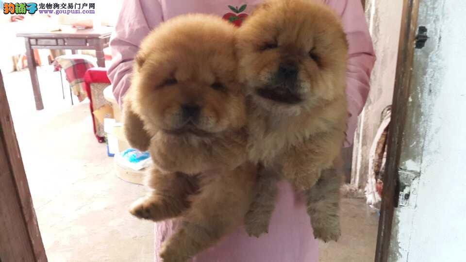普陀区松狮犬繁殖基地直销价格照片多少