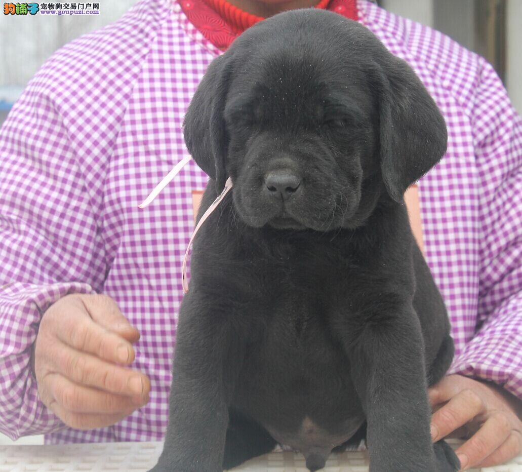 普陀区拉布拉多犬繁殖基地直销价格照片多少