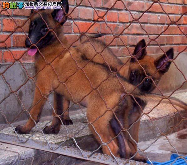 普陀区马犬繁殖基地直销价格照片多少