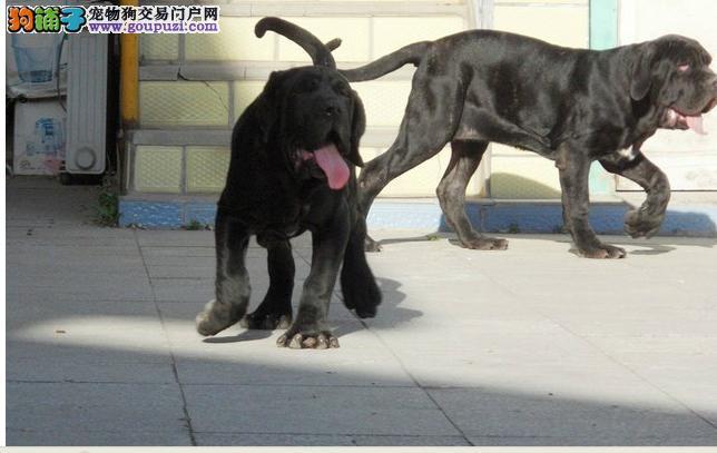 普陀区纽芬兰犬繁殖基地直销价格照片多少