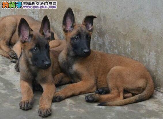 青浦区狗场狗市场宠物店 买马犬价格