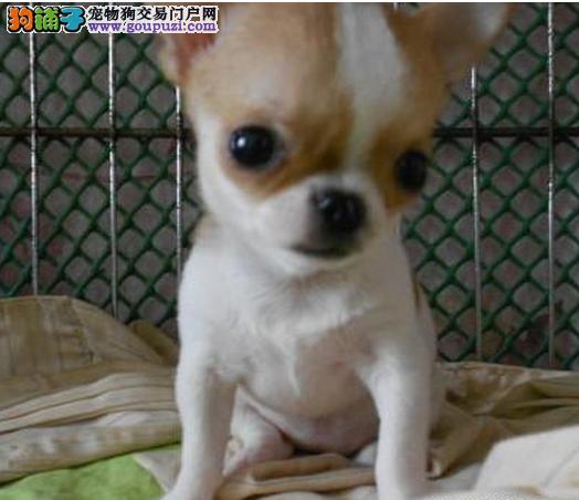 青浦区狗场狗市场宠物店 买吉娃娃价格