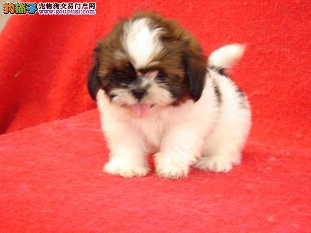 青浦区狗场狗市场宠物店 买西施犬价格