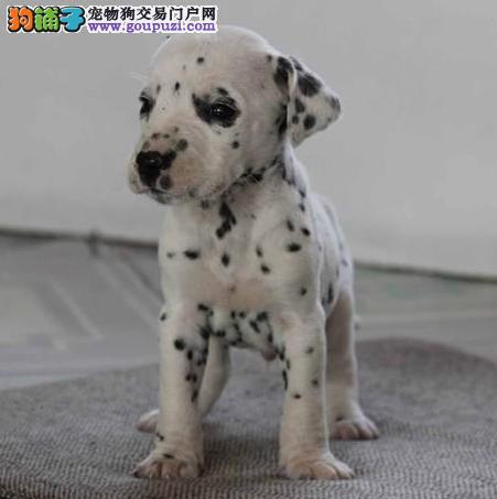 青浦区狗场狗市场宠物店 买斑点狗价格