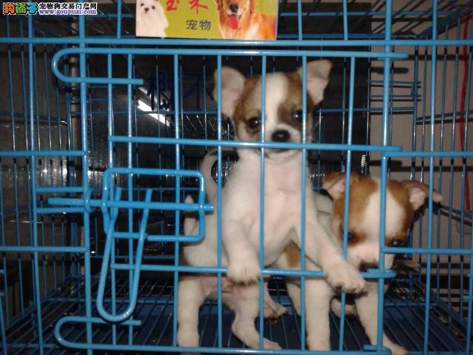 松江区买小吉娃娃松江区吉娃娃狗场出售报价