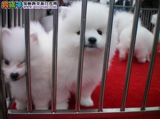 嘉定区狗场狗市场宠物店 买博美犬价格