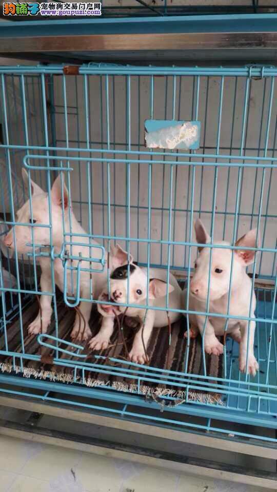 上海市嘉定区牛头梗出售嘉定区牛头梗狗场价