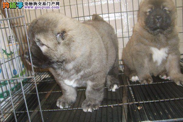 上海市嘉定区高加索出售嘉定区高加索狗场价