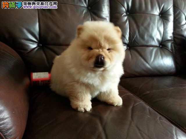 上海市嘉定区松狮犬出售嘉定区松狮犬狗场价