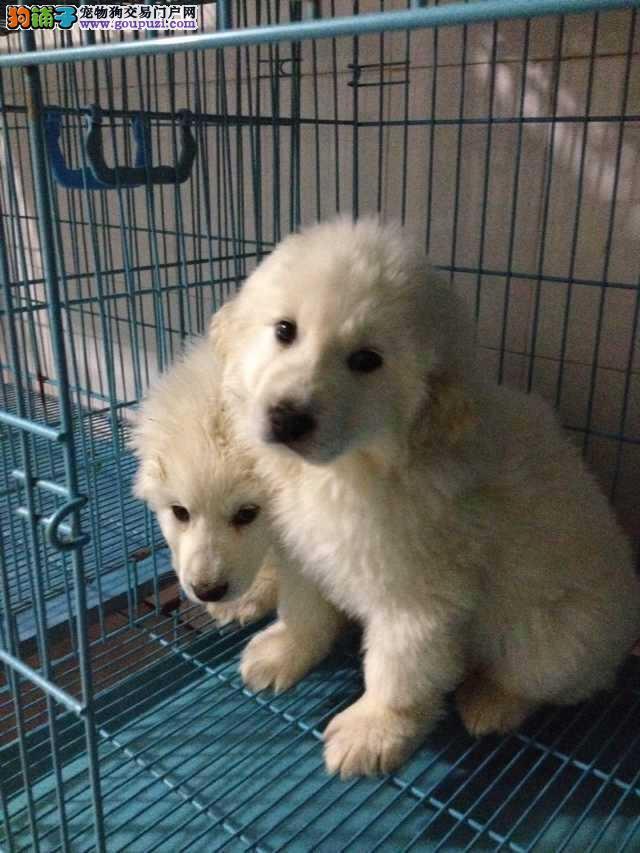上海市嘉定区大白熊出售嘉定区大白熊狗场价