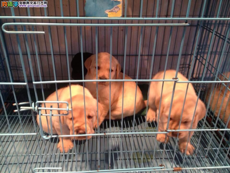 上海市嘉定区拉布拉多犬出售嘉定区拉布拉多