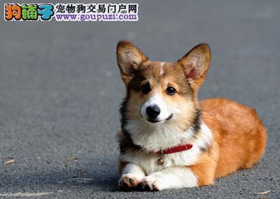 精选赛级纯种柯基幼犬