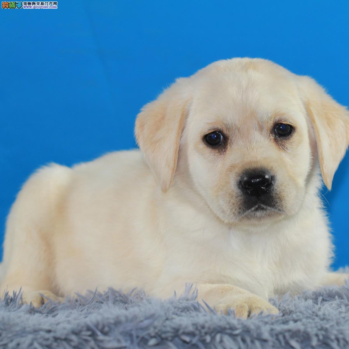 精选纯种拉布拉多幼犬
