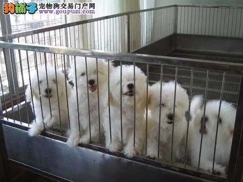 全国出售纯种比熊幼犬