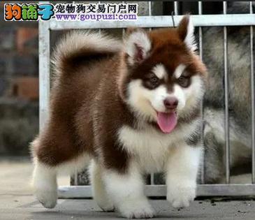 全国出售纯种阿拉斯加幼犬