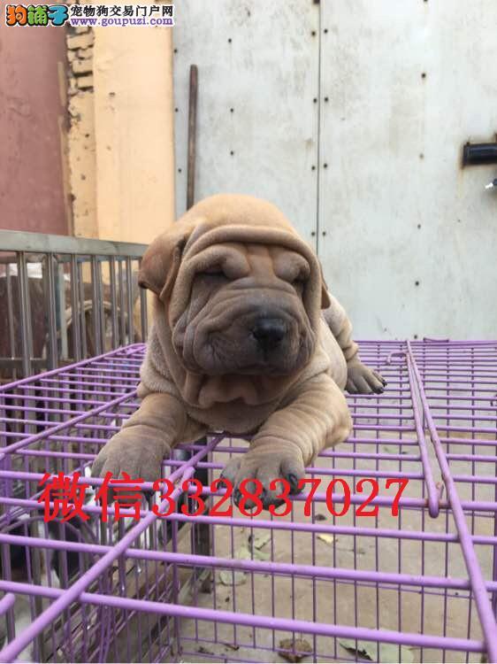 长春哪里有卖沙皮犬 纯种沙皮多少钱 赛级沙皮犬舍