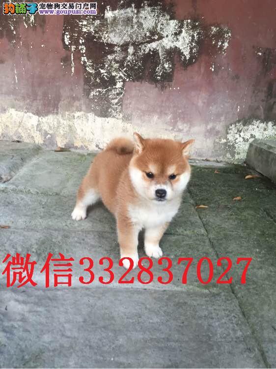 长春哪里有卖柴犬 纯种柴犬多少钱 日系柴犬 柴犬图片