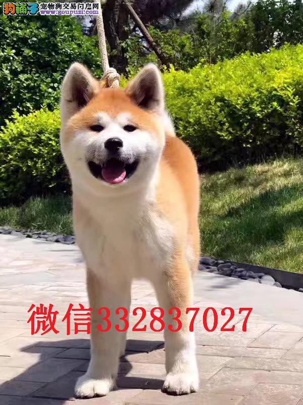 长春哪里有卖秋田犬纯种秋田犬多少钱 日系纯种秋田犬