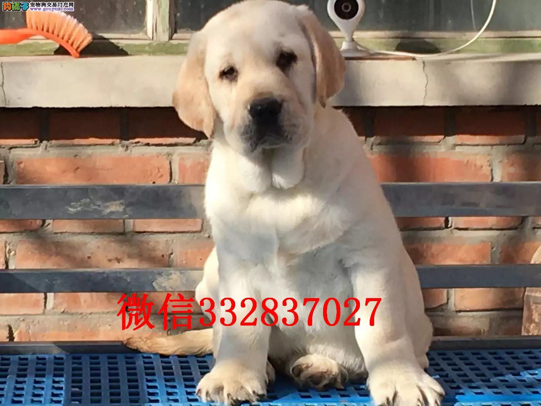 长春出售纯种拉布拉多犬 导盲犬拉布拉多出售 拉布拉多
