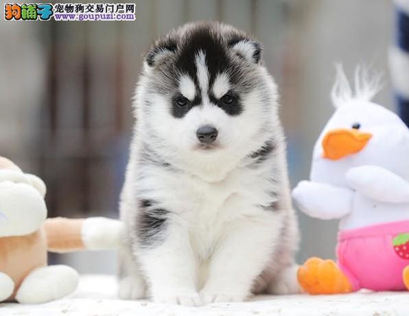 正规犬舍出售 纯种哈士奇犬 签纯种健康协议