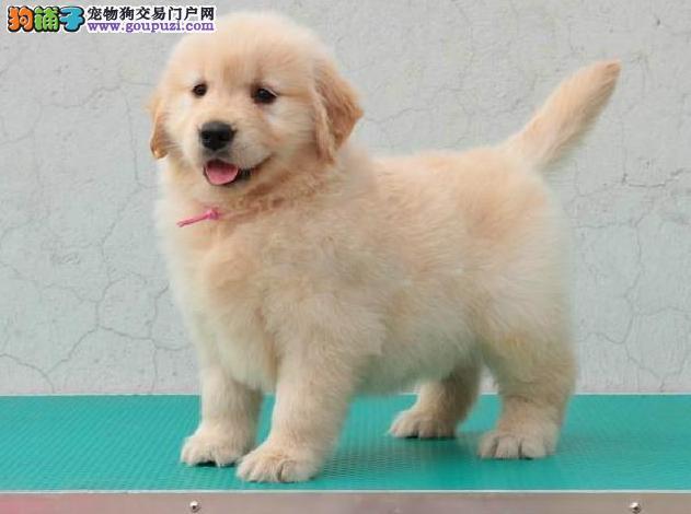 大型狗场,专业养殖,纯种赛级金毛幼犬,可签质保