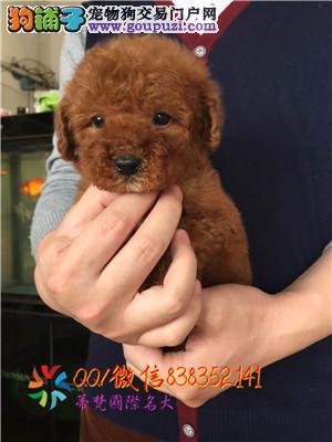 赣州哪里卖泰迪熊 茶杯泰迪 玩具泰迪 迷你泰迪多少钱