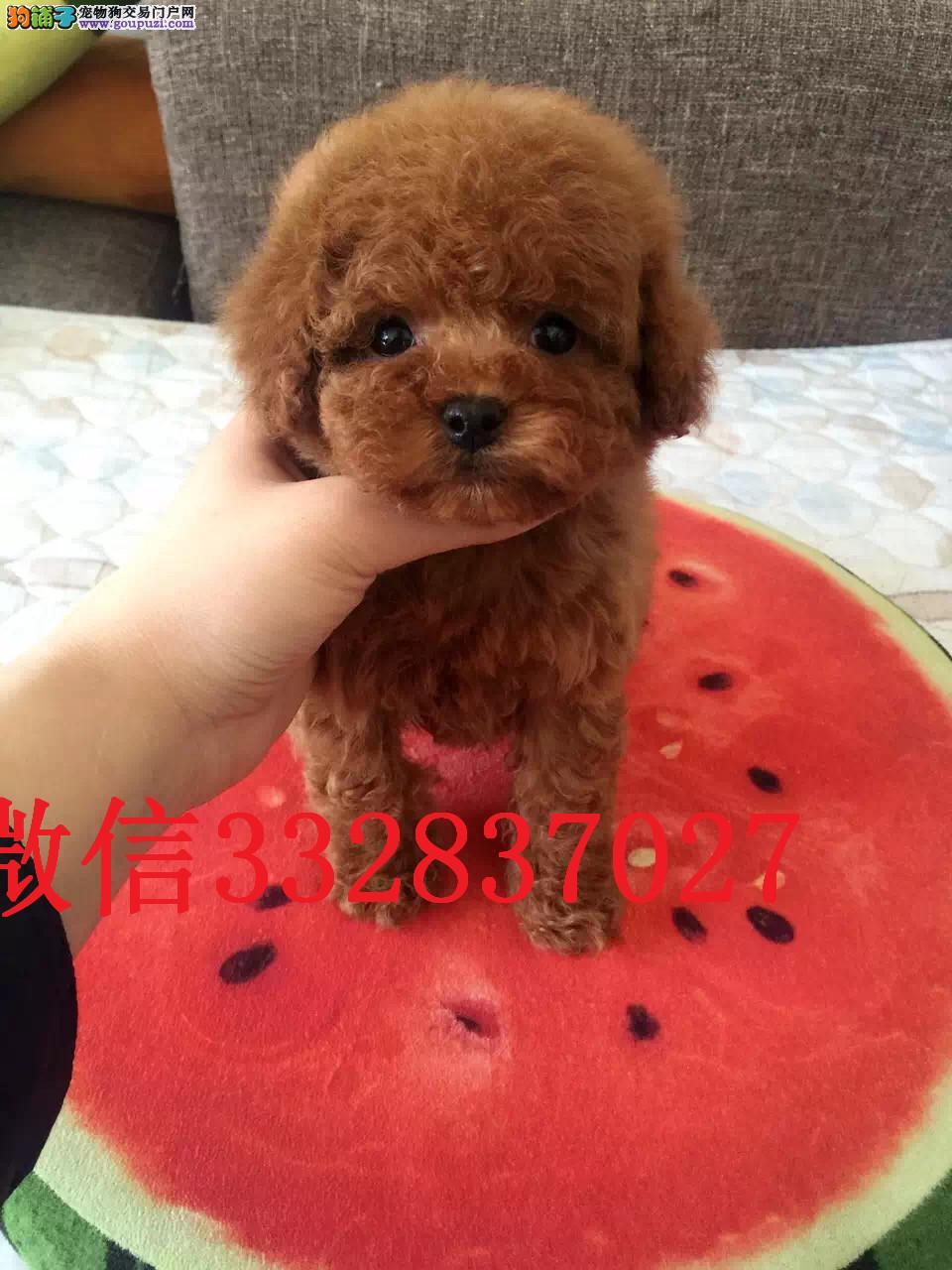 天津泰迪犬出售 小体泰迪 玩具泰迪 天津哪里有卖泰迪