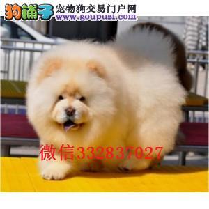 天津松狮多少钱 面包嘴松狮价格 松狮图片 松狮犬舍