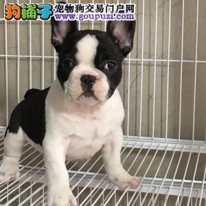 西安出售各类狗狗 纯种斗牛 包退换送货上门包邮