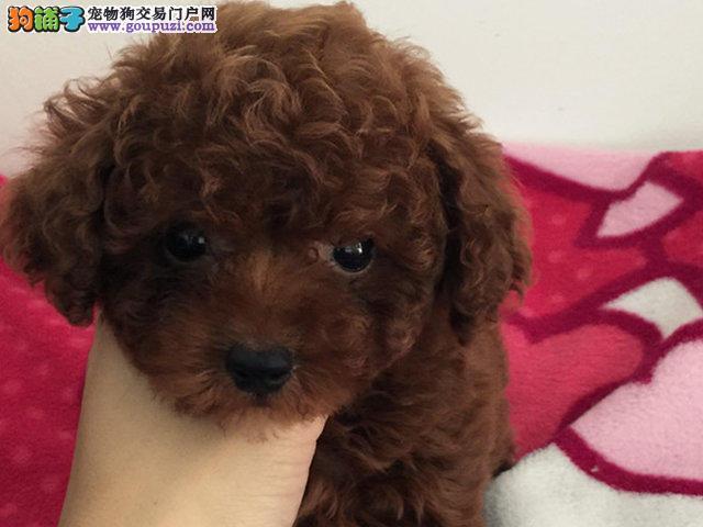 西安出售各类狗狗 纯种泰迪 包退换送货上门包邮