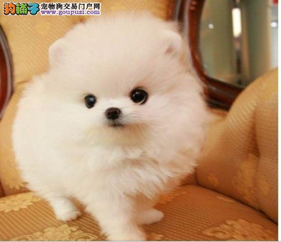 犬舍直销纯种博美宝宝 希望博美能找到喜欢他的主人