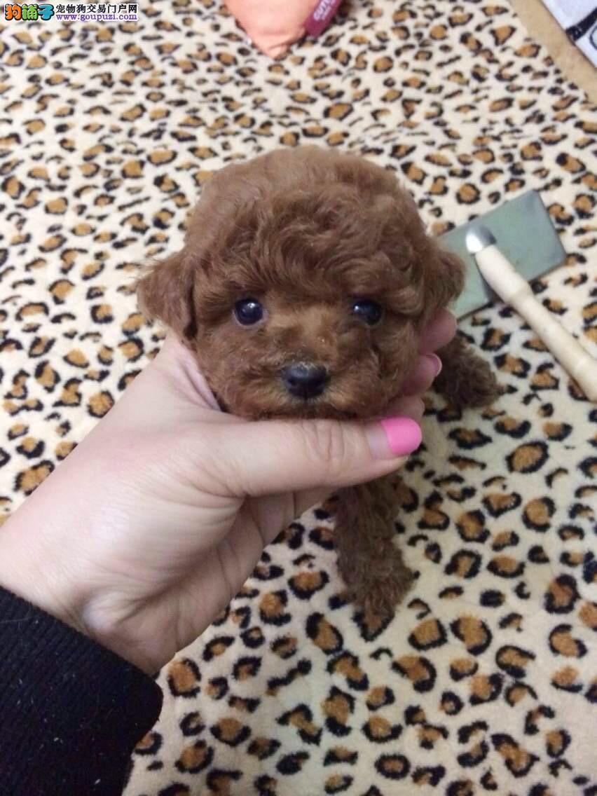 犬舍出售 超可爱 泰迪 健康品质保证