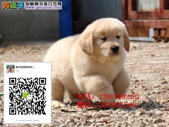 出售金毛导盲犬忠诚可爱的金毛犬聪明伶俐包健康