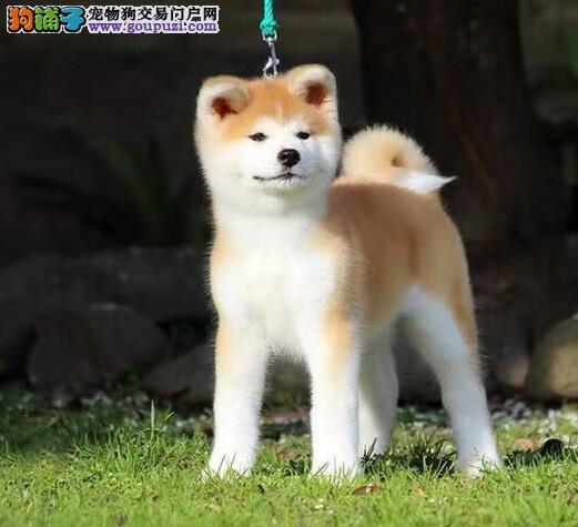 秋田犬温顺犬,健康包活