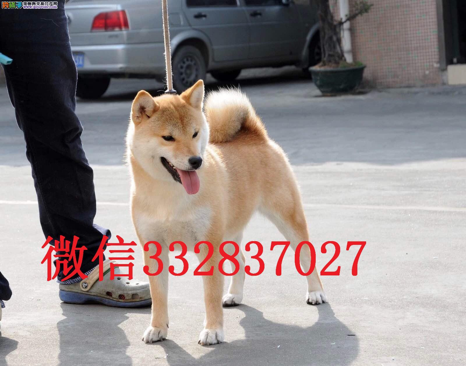 福州柴犬 纯种柴犬 福州哪里卖柴犬 日系纯种柴犬出售