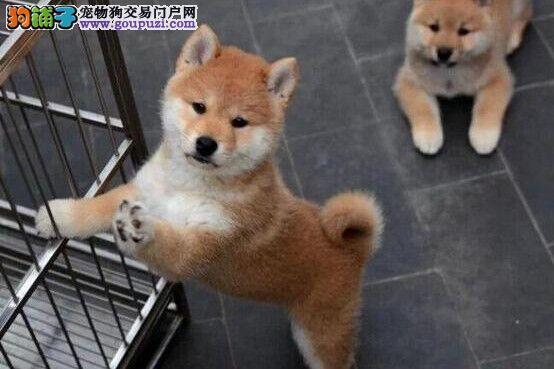 云南文山买柴犬 文山附近哪里有狗场