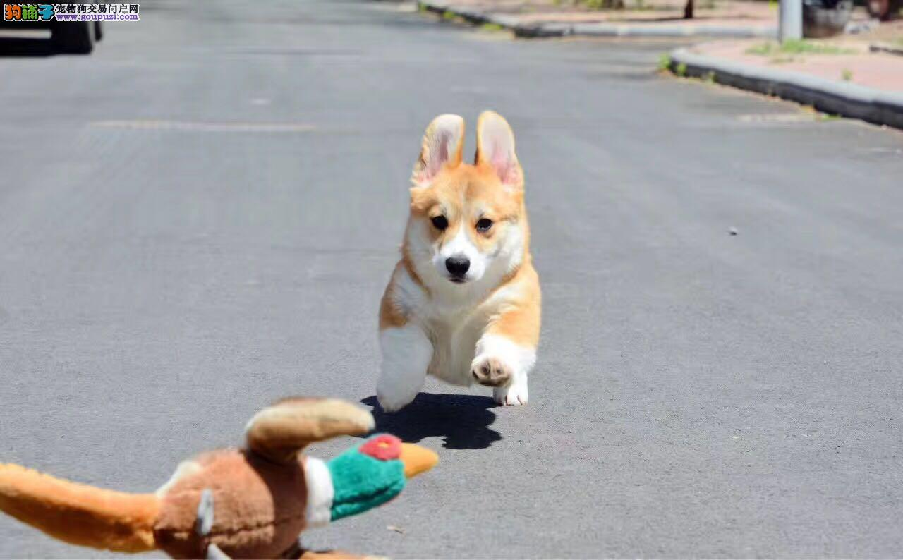 犬舍繁殖纯种威尔士柯基犬幼犬