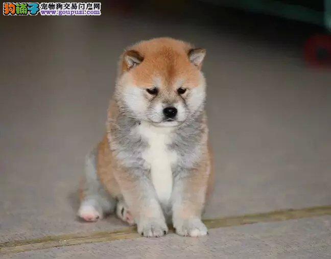 纯种日本柴犬找新家了 拥有很好的品质