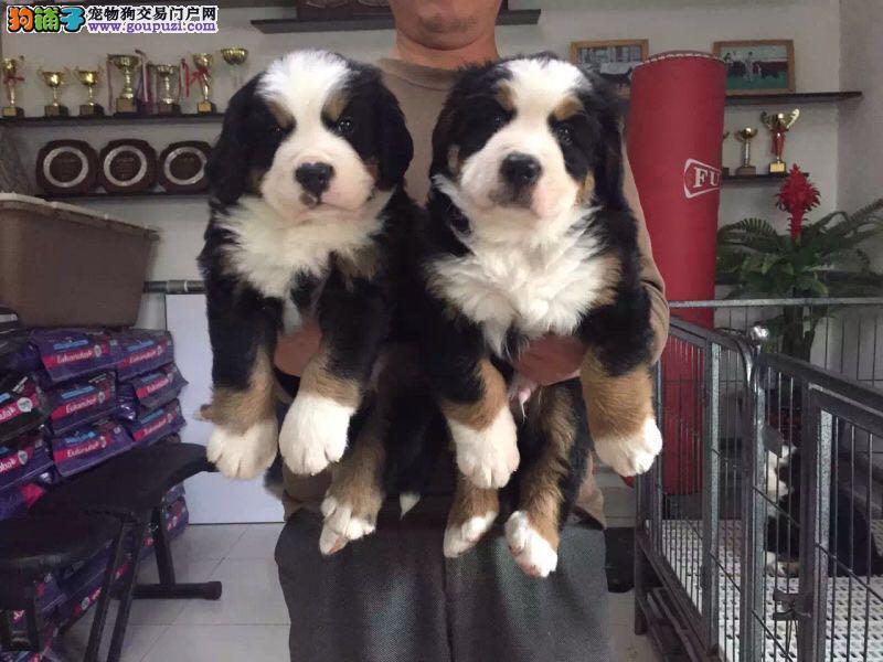 养殖基地常年出售繁育精品伯恩山幼犬