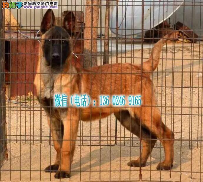深圳哪里有卖马犬 深圳马犬多少钱