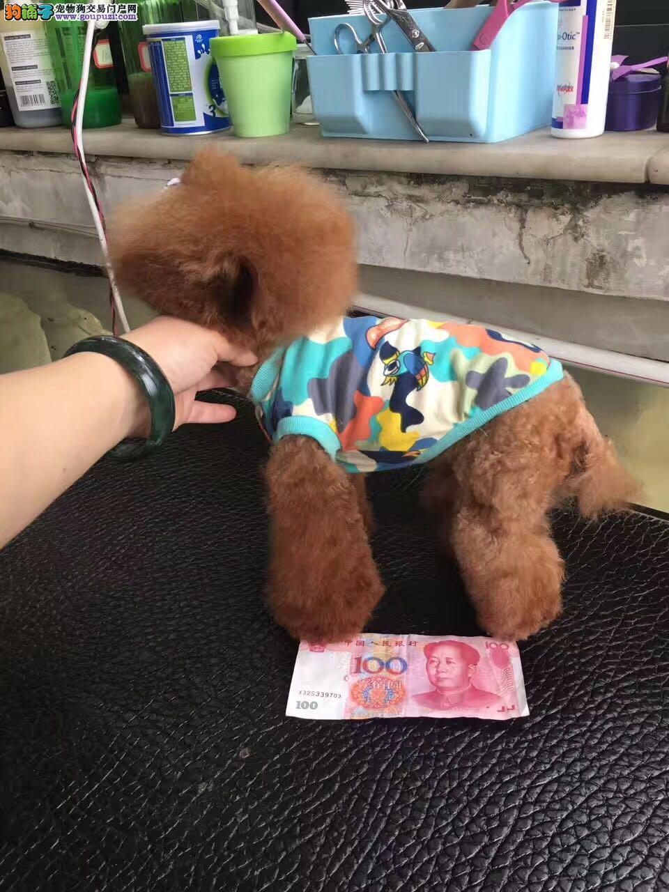 泰迪熊 纯种健康的泰迪 颜色齐全毛量大