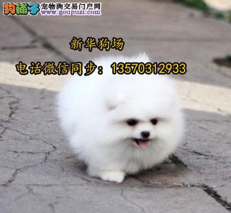 深圳哪里买俊介博美犬 深圳球体博美多少钱一只