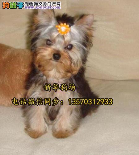 超小体约克夏幼犬可免费送货到家 超萌可爱 保纯种