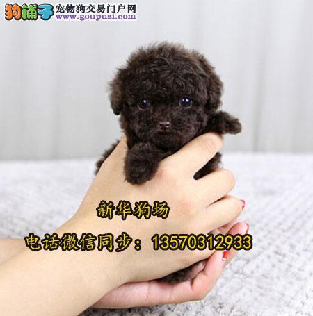 深圳哪里有正规狗场 深圳哪里有卖玩具型泰迪熊