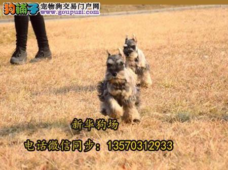 犬舍繁殖纯种雪纳瑞幼犬丨现场可见父母,保证健康