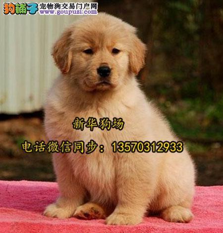 深圳哪里有养狗犬舍 深圳龙华哪里有卖金毛犬