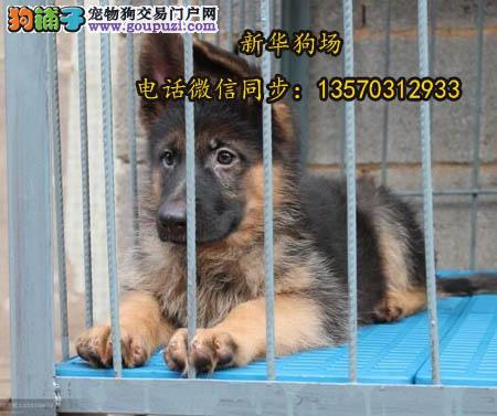 深圳哪里买小狼狗崽 深圳哪里有出售黑背德牧